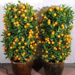 Decorative orange trees