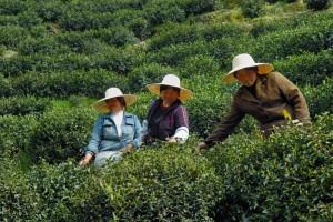 Ladies Picking Tea